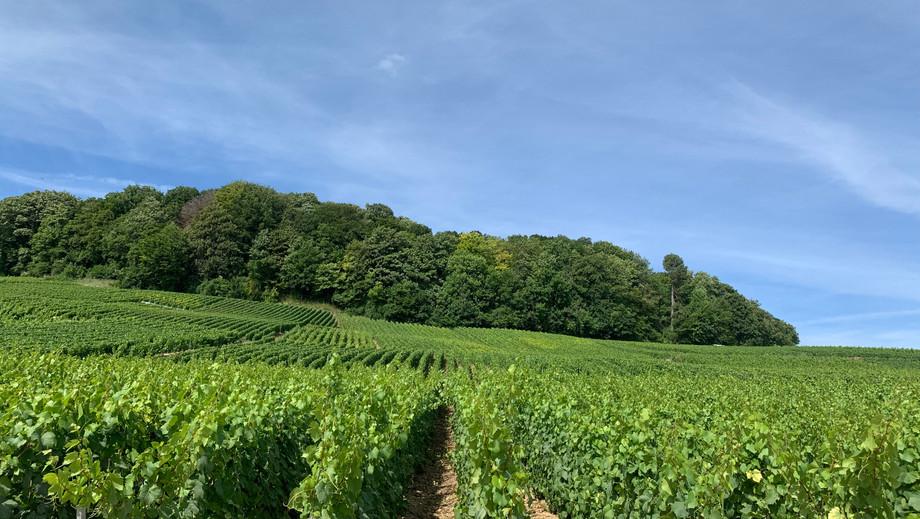 Mitten in der Grand Cru Lage. Hier mit Blick auf einen Teil der Chardonnay Trauben von Petit & Bajan.