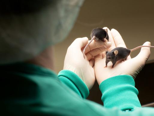 La supresión de un raro gen del autismo provoca diferencias físicas y sociales en los ratones