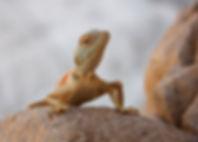 Desert Reptile