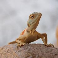砂漠の爬虫類