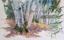 Hidden Birch #2 SOLD