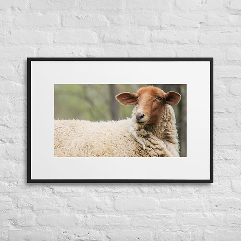 The Stare - Tunish Sheep - Framed Poster