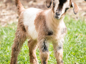 Apr 20, 2018 - World's rarest breed of goats born at Conner Prairie