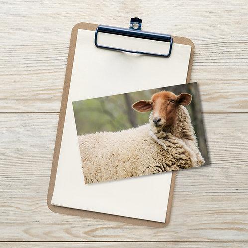 The Stare - Tunis Sheep - Notecard