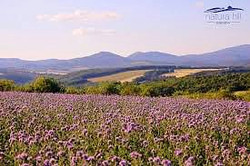 natura hill lavender_edited