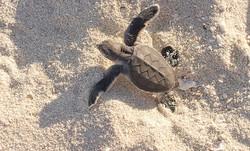 Nicaragua Turtle
