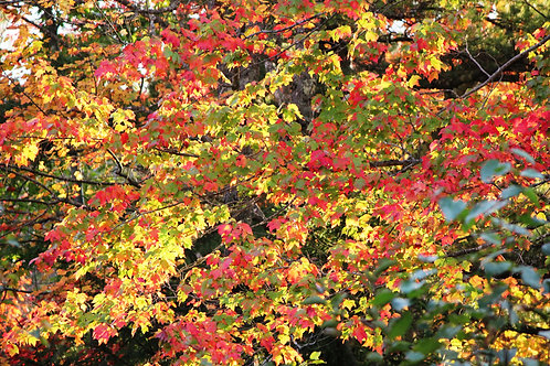 Autumn Leaves (fl9)