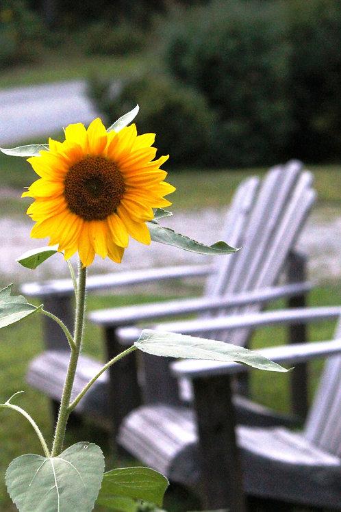 Sunflower (fl2)