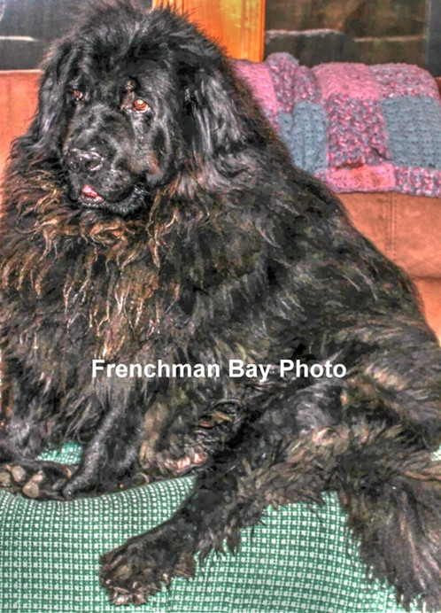 Our Newfoundland Boy Bear Newfoundlands Are Great Friends And Give Hours Of Love Entertainment Originating From They A Wonderful