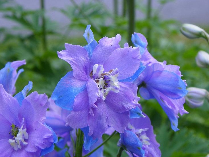 Lavender/Blue Delphinium (fl18)