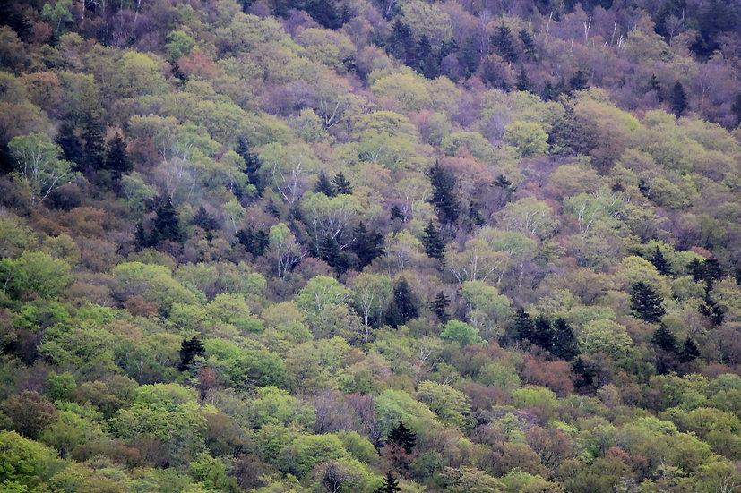 Mountain of Trees  (bb13)