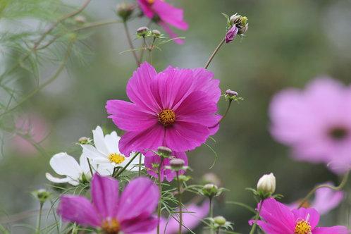 Pink & White Cosmos (fl16)