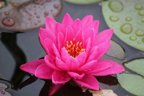 Pink Waterlily (fl25)
