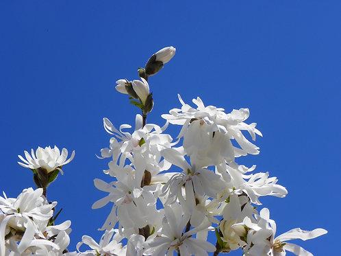White Magnolia Reach for the Sun (fl14)