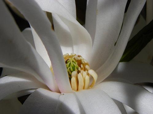 White Magnolia (fl15)