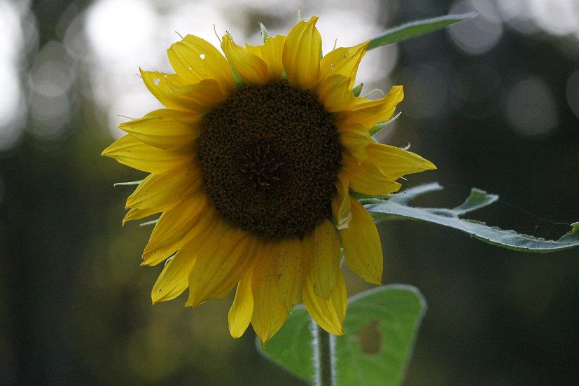 Sunflower (fl19)