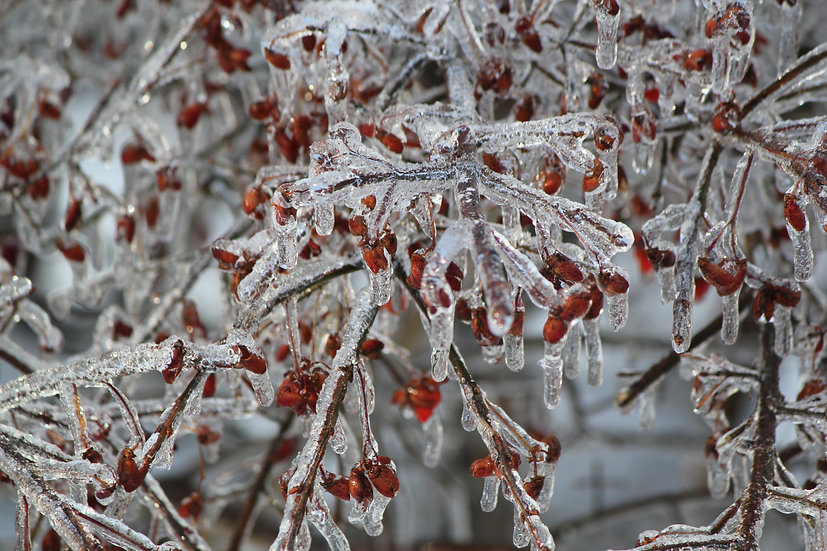 Winter Berries (bb16)