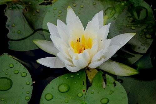 White Waterlily (fl26)