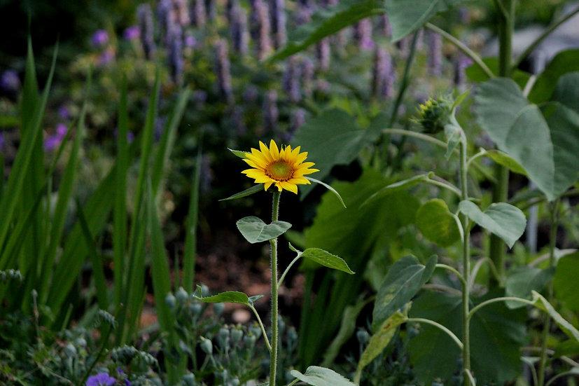 Sunflower (fl20)