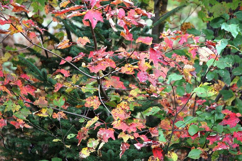 Autumn Leaves (fl8)
