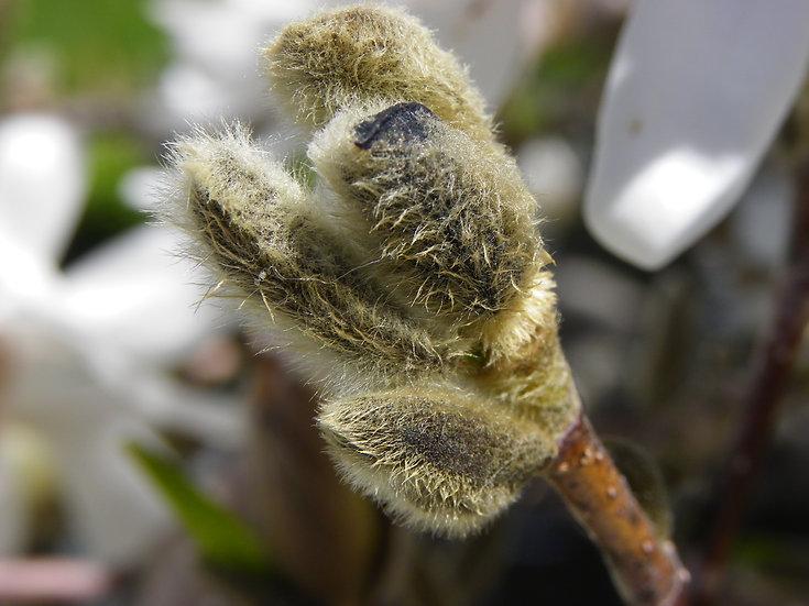 White Magnolia (fl6)