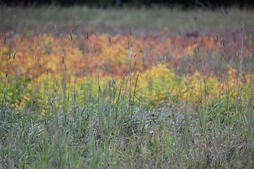 Autumn Grasses (fl12)