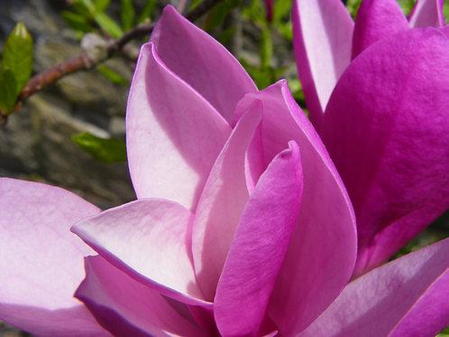 Pink Magnolia  (fl10)