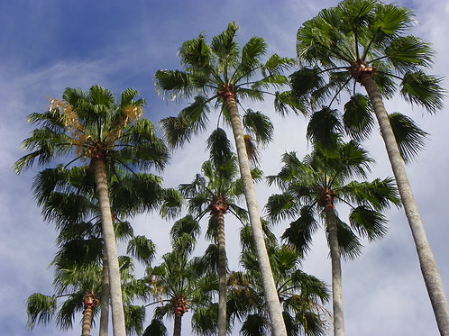 Cluster of Palm Trees (bb12)