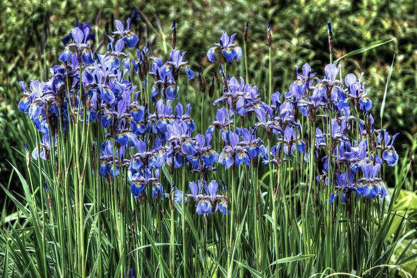 Wild Iris by the lake (fl13)