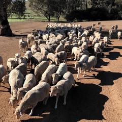 Sheep feeding.jpg