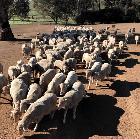 Sheep feeding.jpg