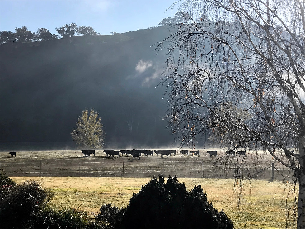 Cattle and fog scape.jpg