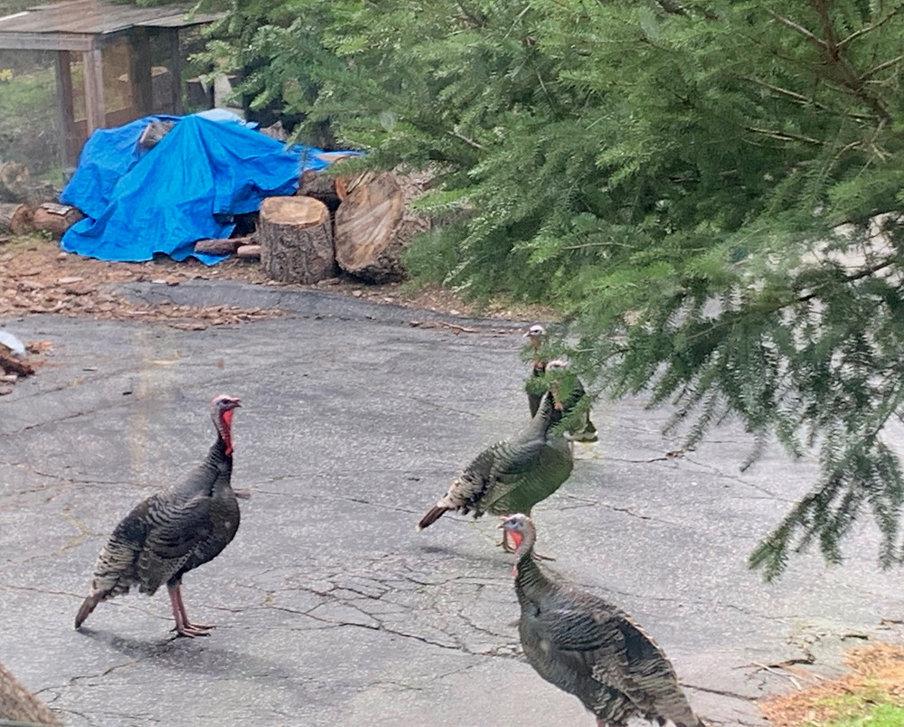 Wild turkeys on driveway in Ben Lomond, CA