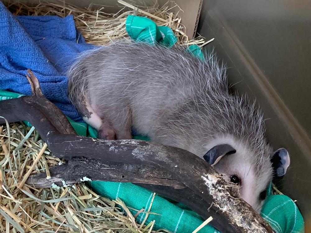 Native Animal Rescue rehabbed possum resting in nest