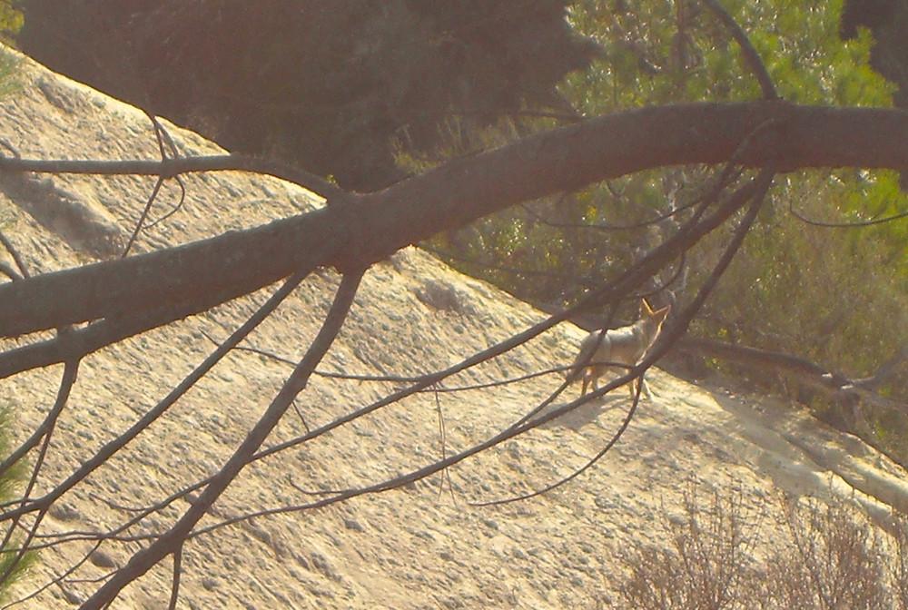"""Neighborhood wild coyote walking on sandstone landscape"""