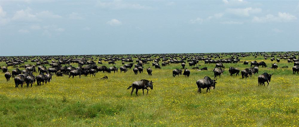 """Wildebeests on Africa migration Serengeti extinction endangered species"""