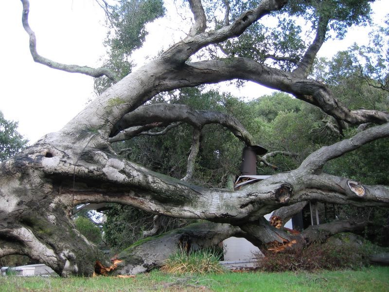 """Fallen California live oak breaking house roof"""