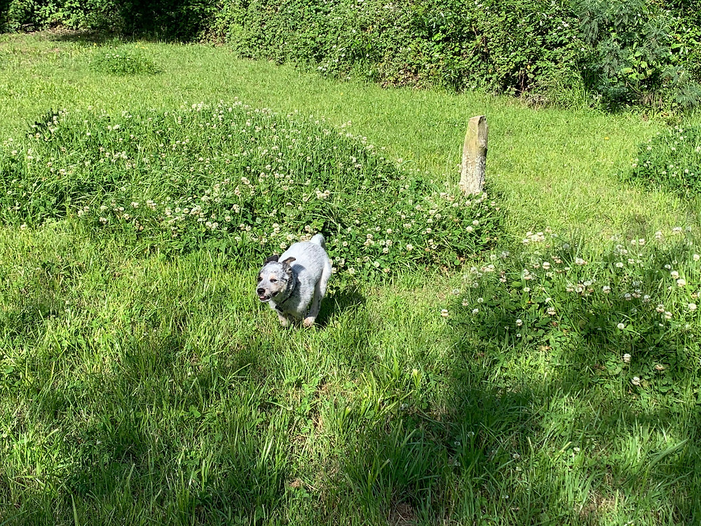 Australian Blue Heeler puppy running wild and free in a green meadow in riparian zone