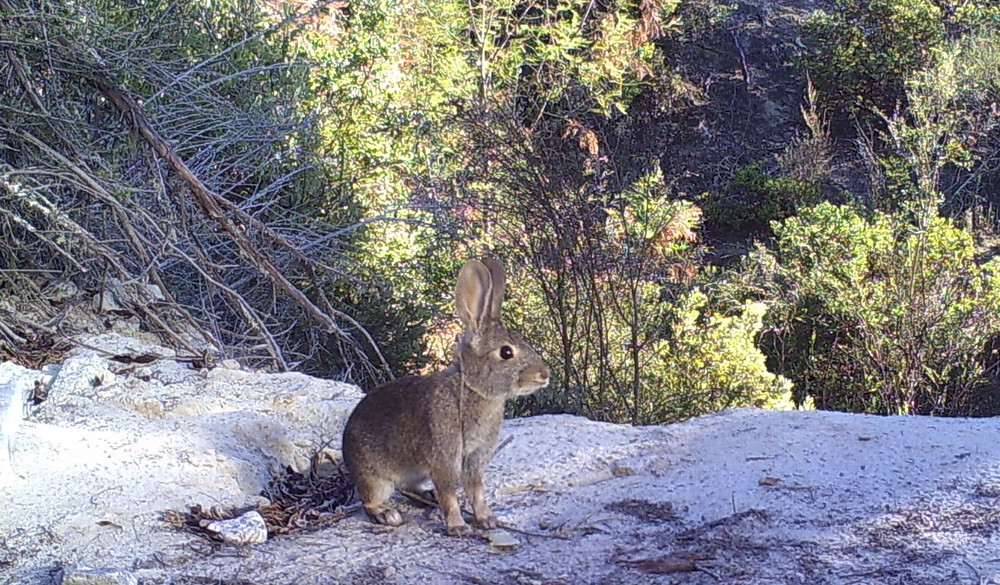 Brown rabbit in sandhill chaparral in Ben Lomond, CA