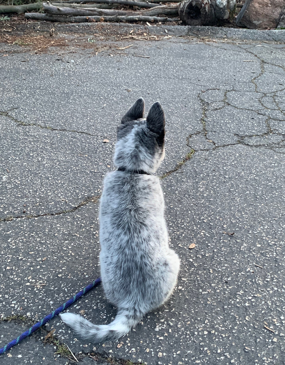 Australian cattle dog from behind with large ears and long tail