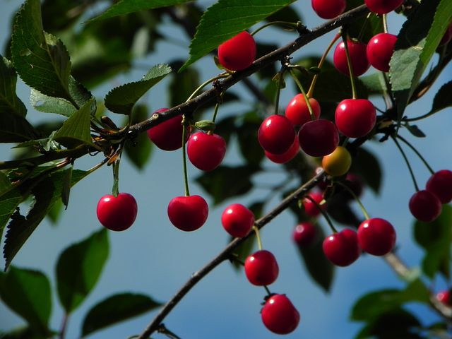 """""""Red cherries hanging from tree branch"""""""