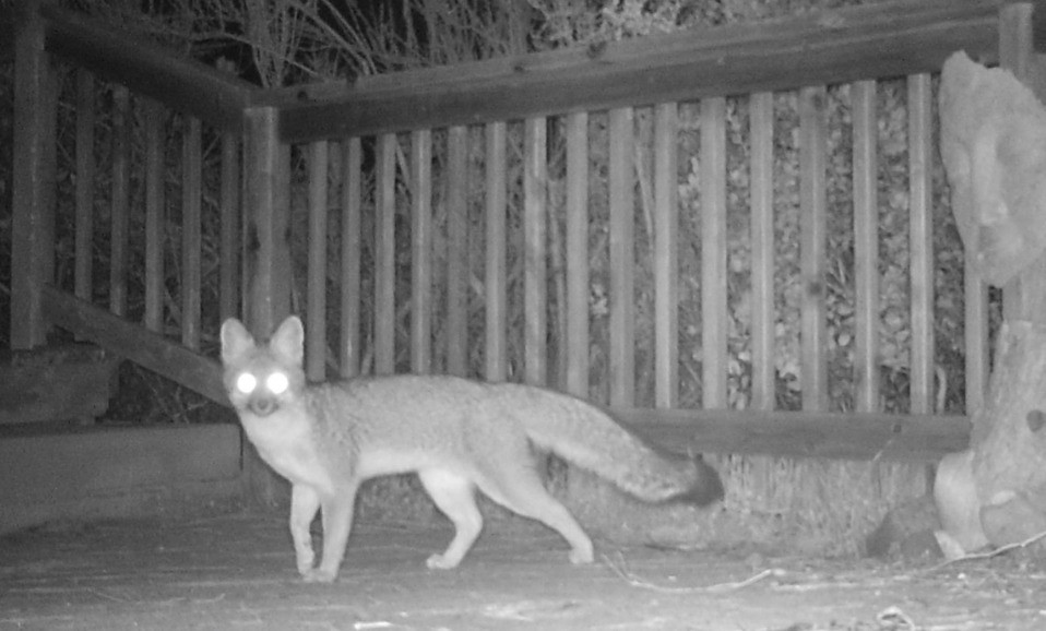 Night motion camera photo of grey fox out my door