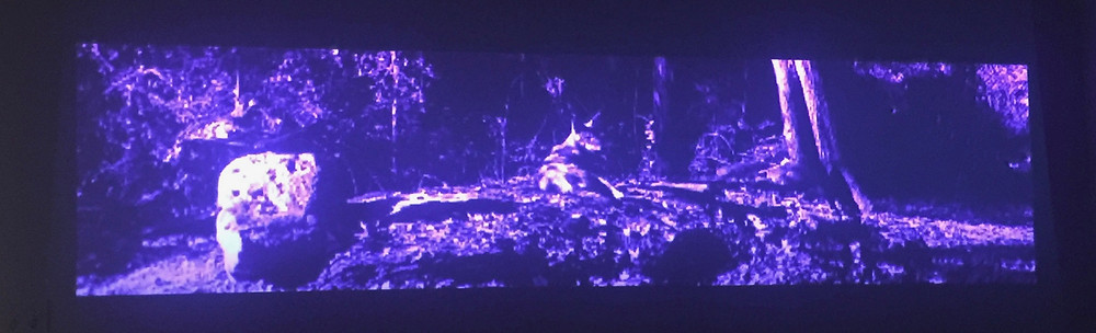 Endangered red wolves sitting in front of wolf den. From art installation, Wolf Nation 2018, by Alan Michelson