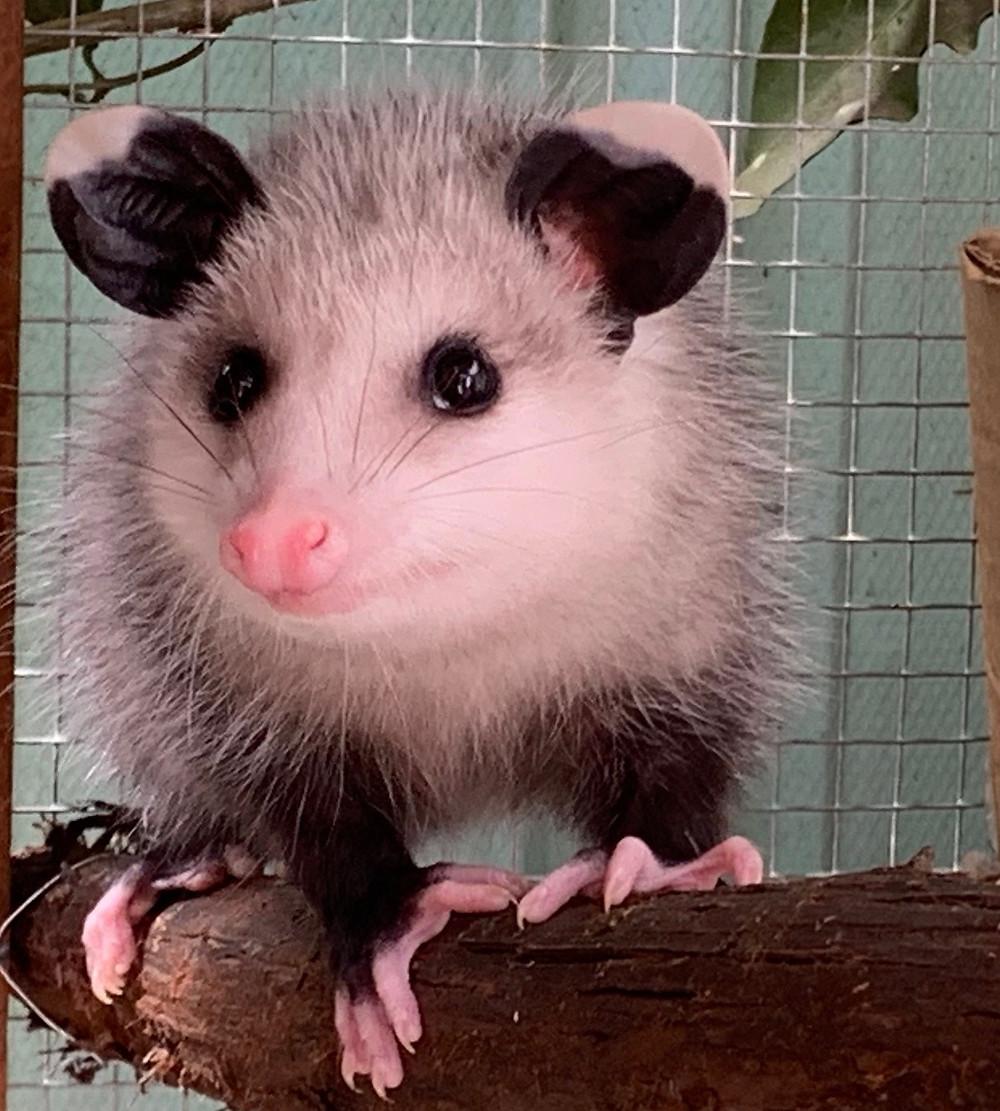 """Young opossum at Native Animal Rescue in Santa Cruz, CA"""