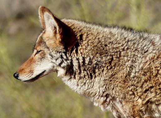 Coyote Crossings