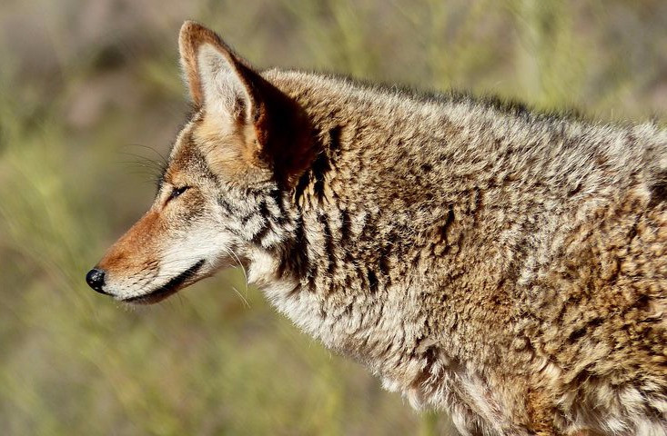"""Wild coyote with thick fur gazing"""