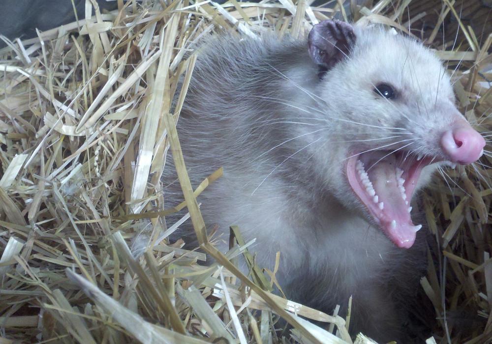 """Opossum hissing at Santa Cruz Native Animal Rescue"""
