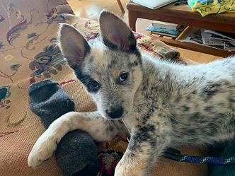 Australian Blue Heeler puppy gazing at camera