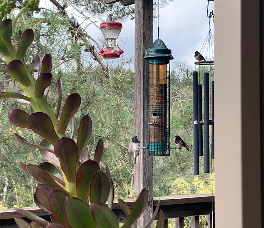 Black eyed juncos at bird feeder with view of Santa Cruz Mountains