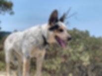 Australian Blue Heeler dog in wild setting